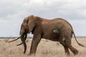 Ahora el elefante se encuentra mejor. Foto:vía Barcroft Media. Imagen Por: