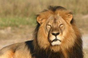 Muchos se indignaron por la caza de este león. Foto:vía AFP. Imagen Por:
