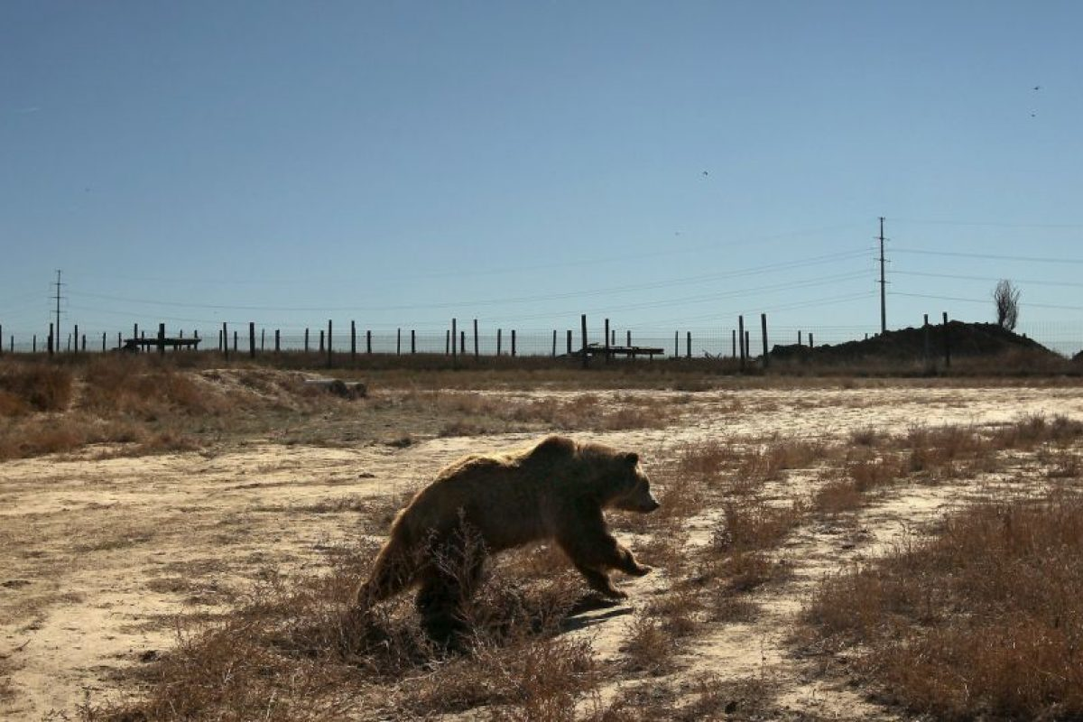 Osos foráneos hacen regularmente incursiones en pueblos y ciudades de Rusia. Foto:Getty Images. Imagen Por: