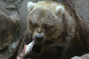 Algunas de las razones por las que los osos s acercan a las poblaciones es en busca de comida. Foto:Getty Images. Imagen Por: