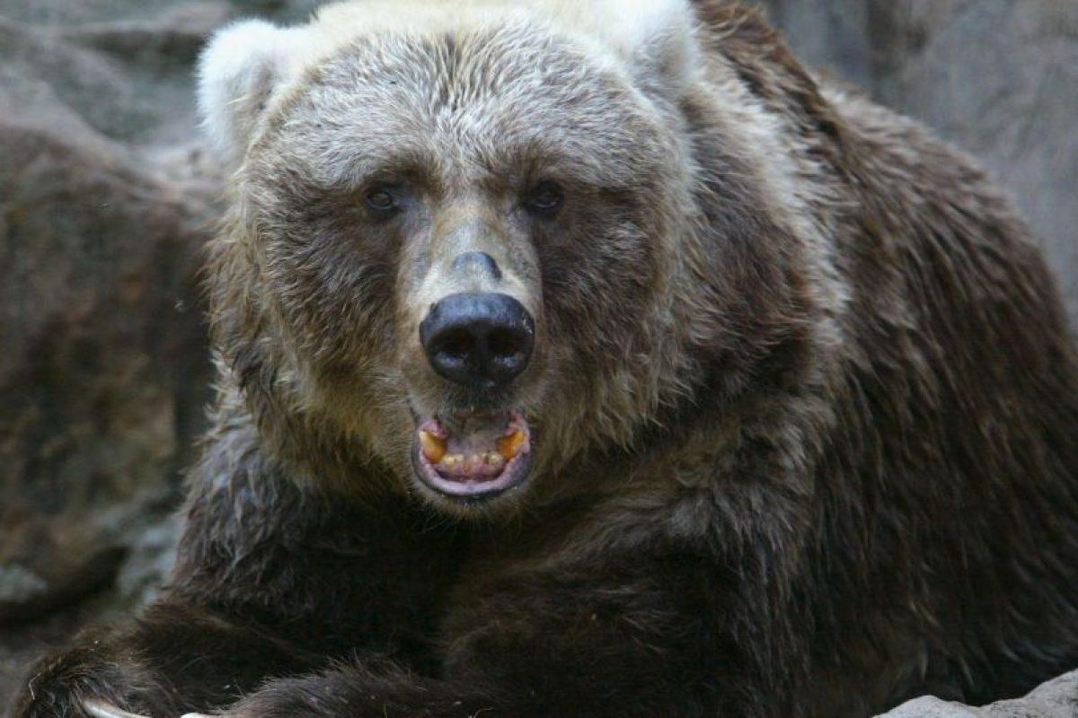 Los osos pardo pueden llegar a pesar hasta 680 kilogramos (mil 500 libras). Foto:Getty Images. Imagen Por: