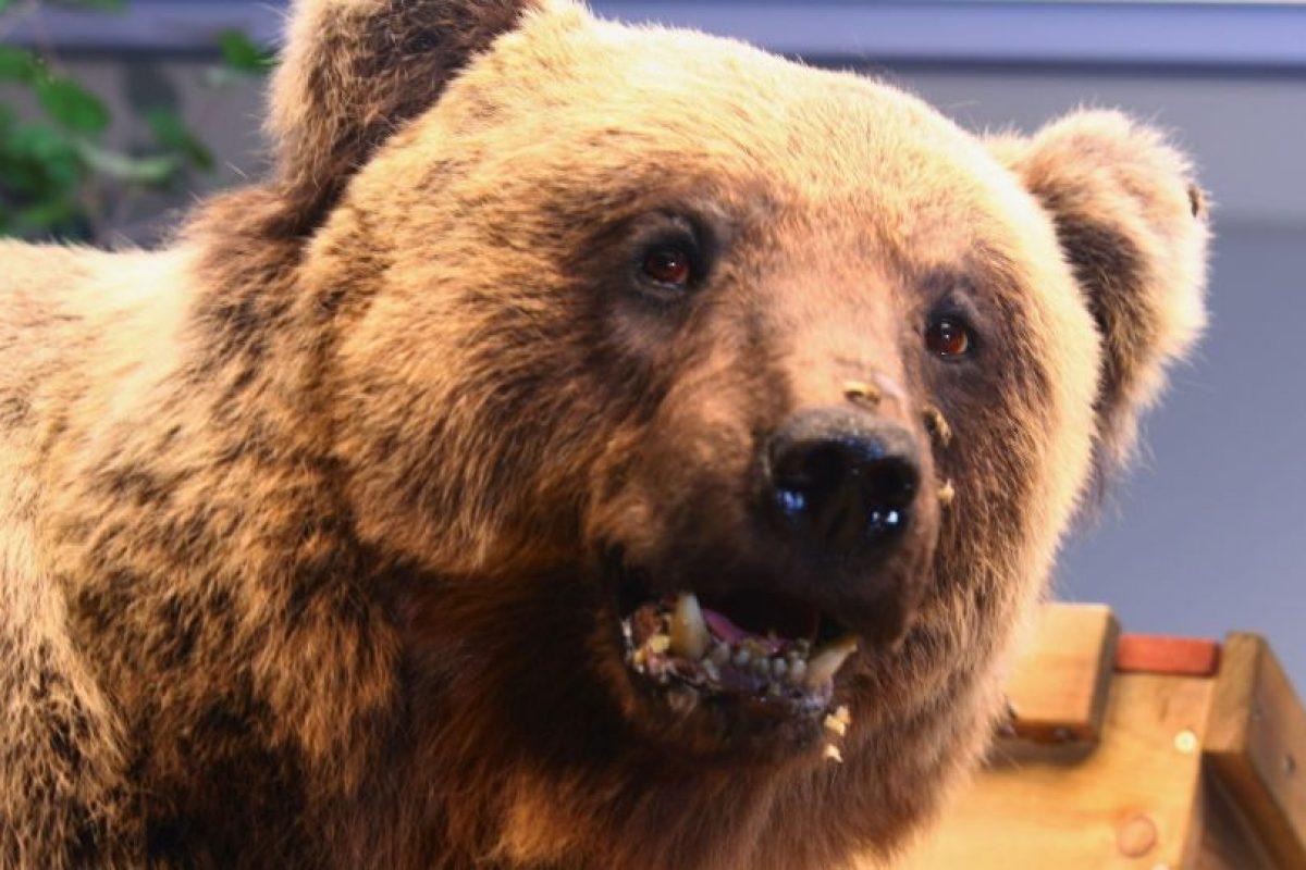 En el caso del oso asesinado se cree que podría haber sido eso o que estaba buscando una guarida para pasar el invierno. Foto:Getty Images. Imagen Por: