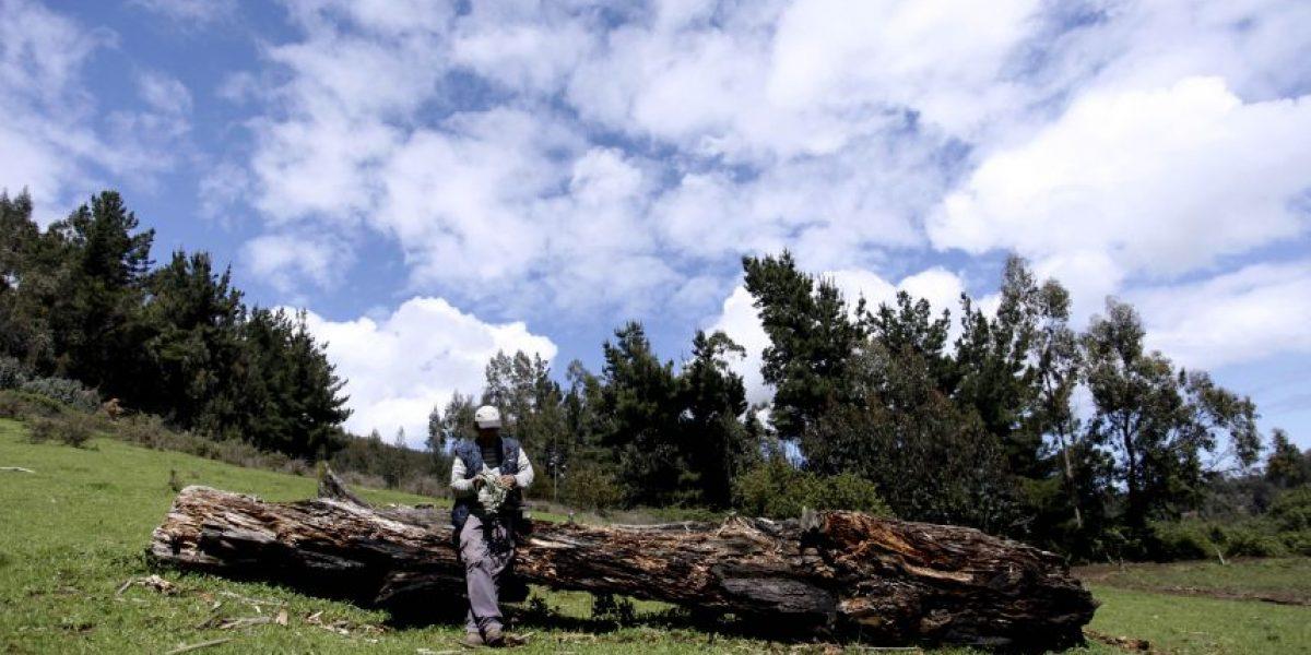 Las postales que dejó la tradicional cosecha de la nalca en Cañete