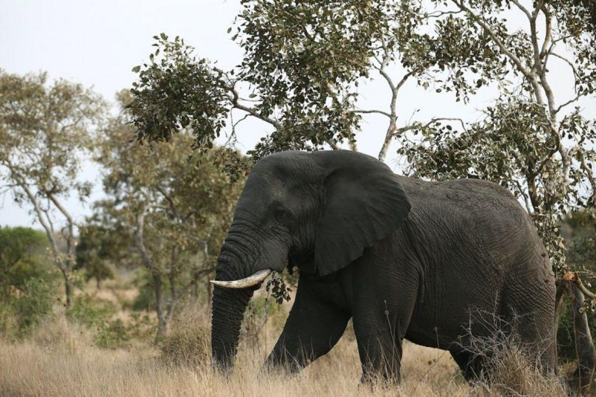 Elefante africano. Foto:Getty. Imagen Por: