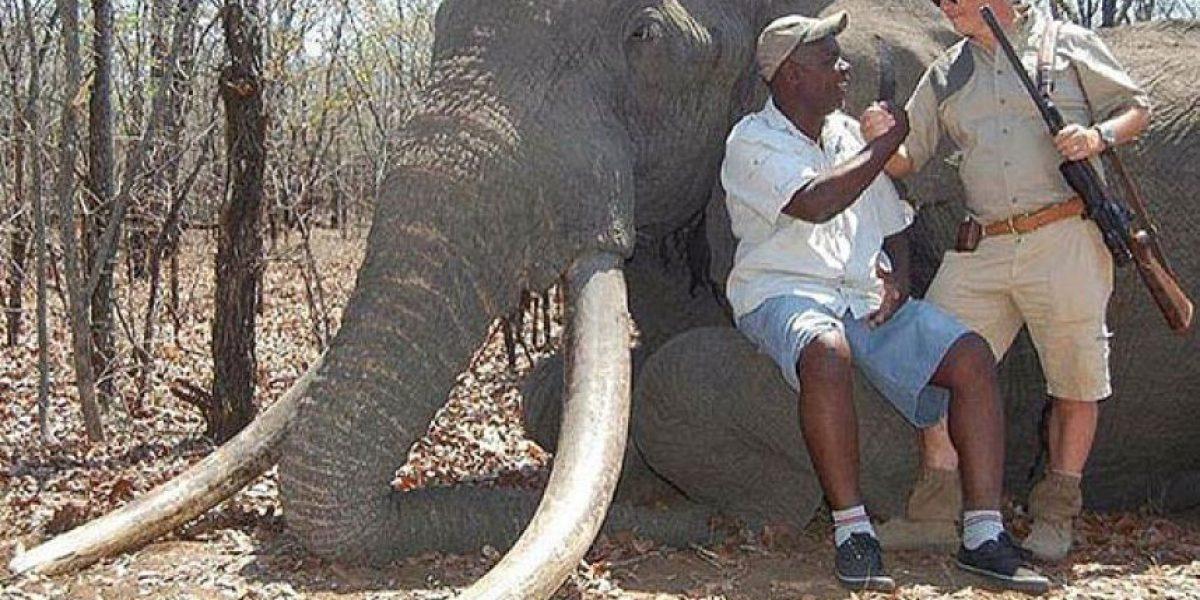 Nueva polémica en Zimbabue: matan a elefante gigante en safari