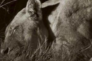 El león fue asesinado en el parque nacional Hwange. Foto:vía AFP. Imagen Por: