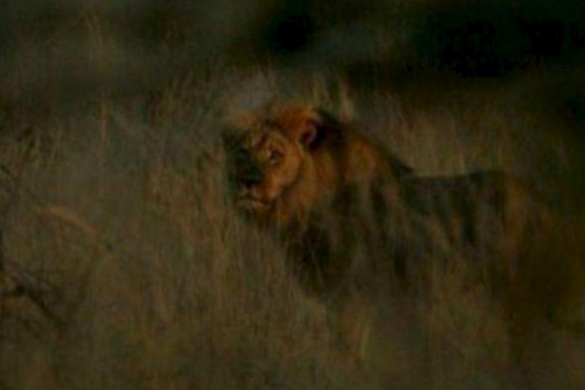 A Cecil lo mataron y no pasó nada. Foto:vía AFP. Imagen Por: