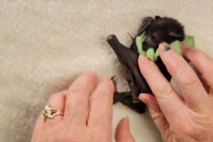 VIDEO: ¡Qué ternura! Así cuidan a estos bebés murciélago en Australia Se encarga de los animalitos que ya no pueden alimentarse. Foto:vía Wakaleo/Youtube. Imagen Por: