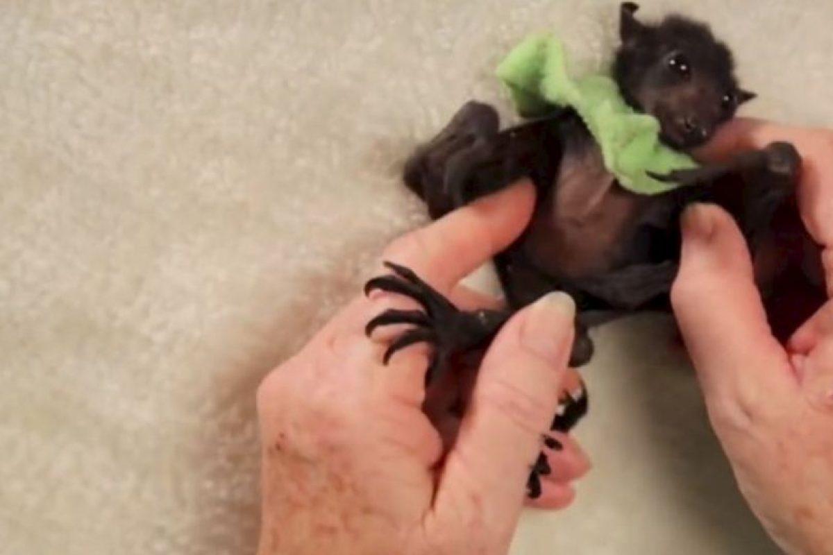 La organización Australian Bat Clinic cuida de ellos. Foto:vía Wakaleo/Youtube. Imagen Por: