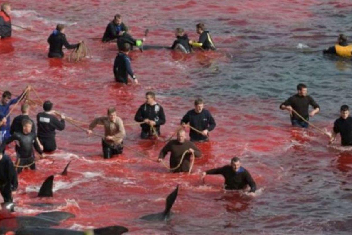 Esto lo hacen desde hace cientos de años en las Islas Feroe. Foto:vía Sea Shepherds. Imagen Por: