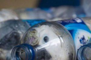 Estas cacatúas iban a ser vendidas en Indonesia. Foto:vía Barcroft. Imagen Por: