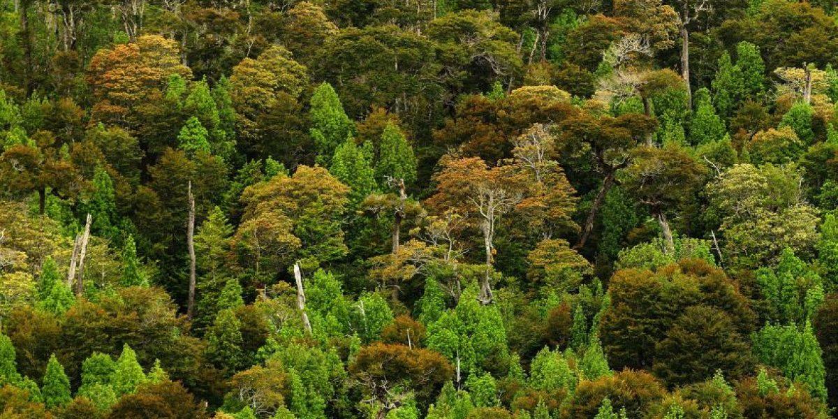 Cortan alerce de más de 1.000 años en tala ilegal en región de Los Ríos
