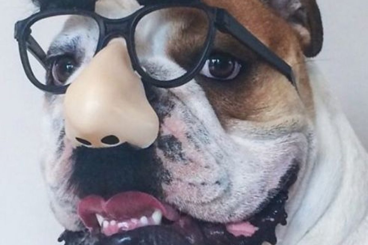 Adorables Bulldogs ingleses Foto:Vía Instagram/@maverick_poser. Imagen Por: