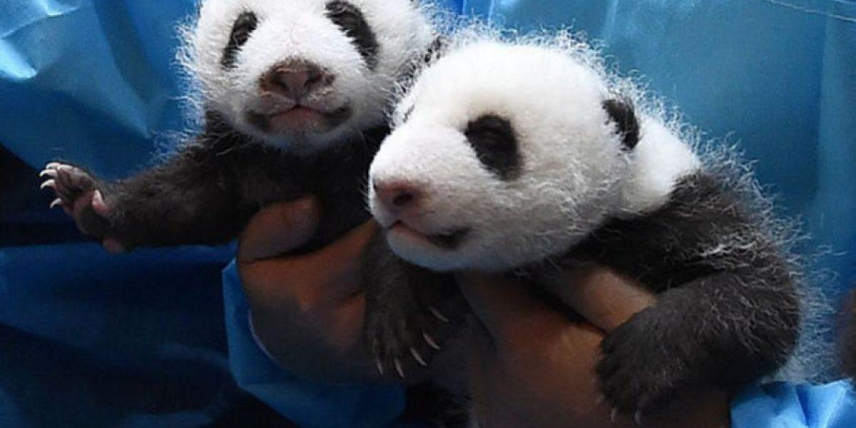 Sobredosis de ternura:conoce esta guardería de bebés panda