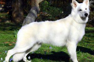 El Pastos Blanco Suizo es uno de los más conocidos de la lista, sin embargo, eso no lo hace menos exclusivo. A través de redes sociales se ofrecen cachorros de esta raza desde los 700.000 pesos. Foto:Reproducción. Imagen Por:
