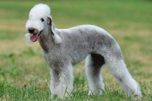 El Bedlington Terrier es realmente exclusivo. Los ejemplares que existen en el país son muy pocos y no existen datos del valor de uno de estos particulares cachorros. Foto:Reproducción. Imagen Por: