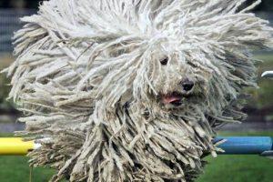 La raza Komondor es una de las más exclusivas y bastante difícil de conseguir en Chile, no existen datos de precios de estas mascotas. Foto:Reproducción. Imagen Por: