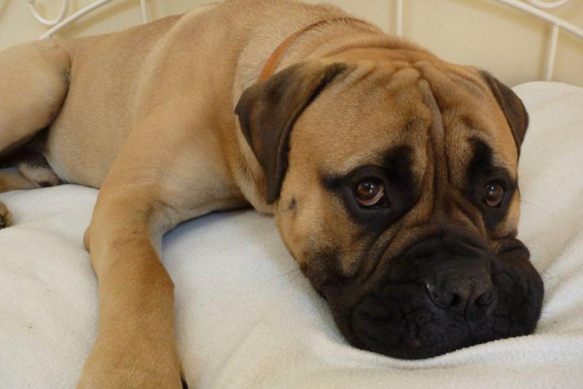 Los Bullmastif también forman parte de la lista de los más exclusivos y caros, puesto que un cachorro de esta raza puede cotizarse sobre los $800 mil. Foto:Reproducción. Imagen Por: