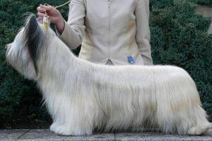 Los Skye Terrier también aparecen en la lista de los más exclusivos. Tanto así que no existen datos sobre el precio de estas mascotas. Foto:Reproducción. Imagen Por: