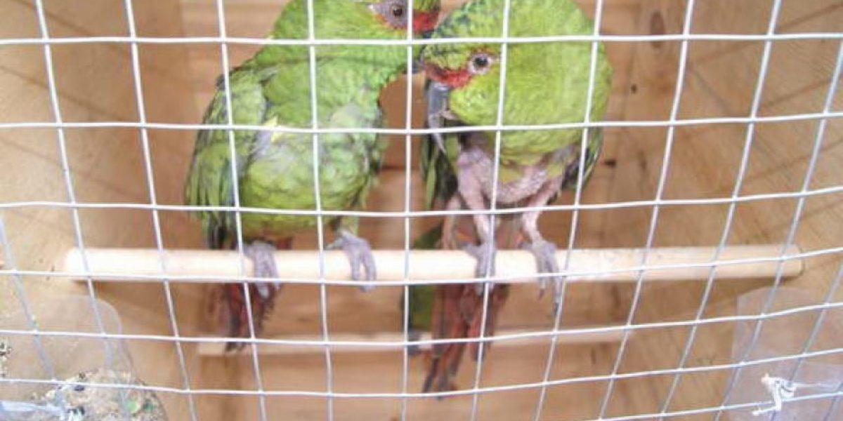 Detienen en Valdivia a sujeto por tráfico de aves chilenas protegidas
