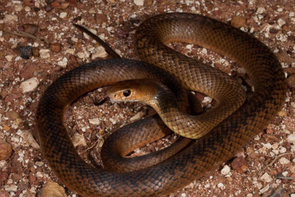 """Según destaca el Dr. Bryan Fry de la Universidad de Queensland, Australia, """"este tipo de serpiente ha llegado a superar los 1,3 gramos de veneno extraídos en un solo esputo"""". Foto:Pinterest. Imagen Por:"""