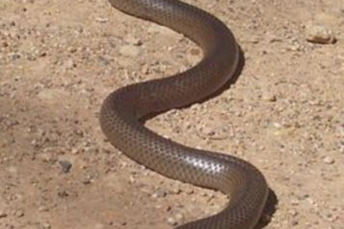 Es catalogado como uno de los animales más venenosos del mundo, pues con su veneno podría matar a 100 personas adultas y 250 mil ratones. Foto:Wikimedia. Imagen Por: