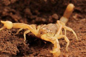 6. Escorpión palestino amarillo. Puede medir hasta 10 centímetros de longitud. Foto:Wikimedia. Imagen Por: