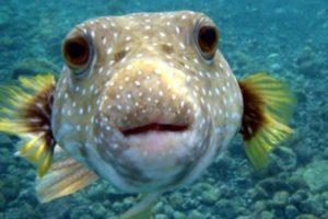 2. Pez globo. En su piel se alojan toxinas que podrían matar a los humanos. Este pez produce una muerte rápida al hinchar los labios y la lengua de su víctima además de propiciar vómitos, taquicardia y parálisis muscular. En Japón este pez en un manjar. Foto:Wikimedia. Imagen Por: