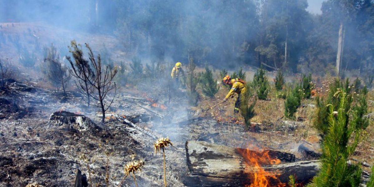 Arauco: Incendio forestal ha consumido casi 100 hectáreas