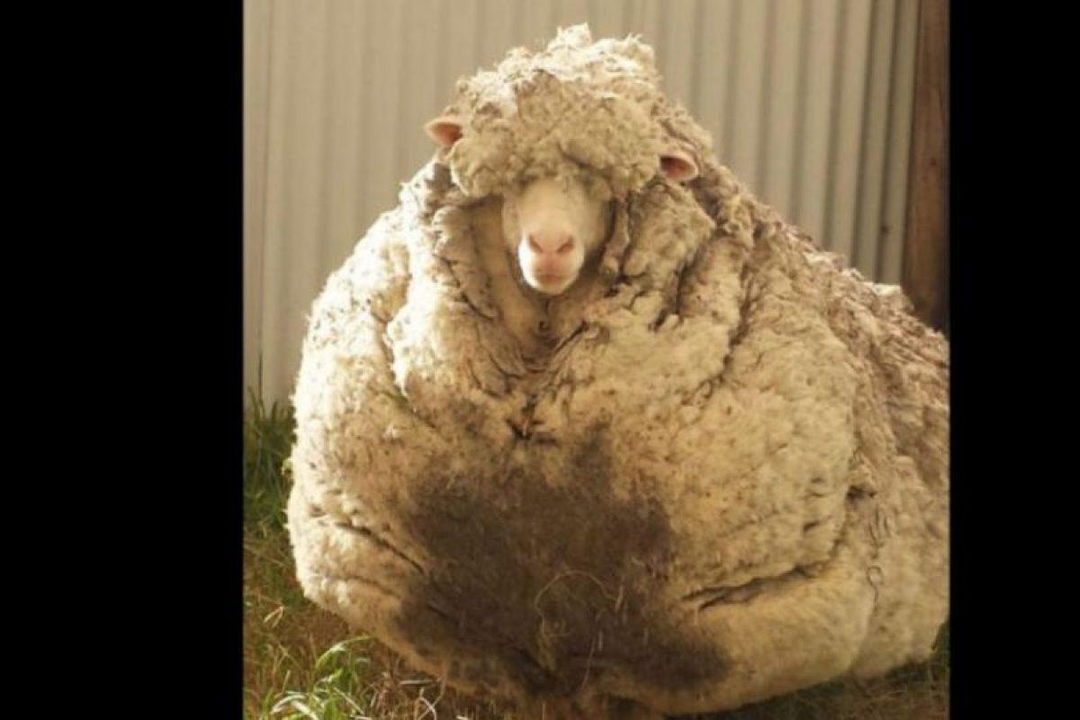 La oveja ahora llamada Chris fue encontrada y rescatada por la sociedad Real para la Prevención de la Crueldad contra Animales en Canberra (RSPCA), Australia. Foto:Vía Twitter @tvendange. Imagen Por: