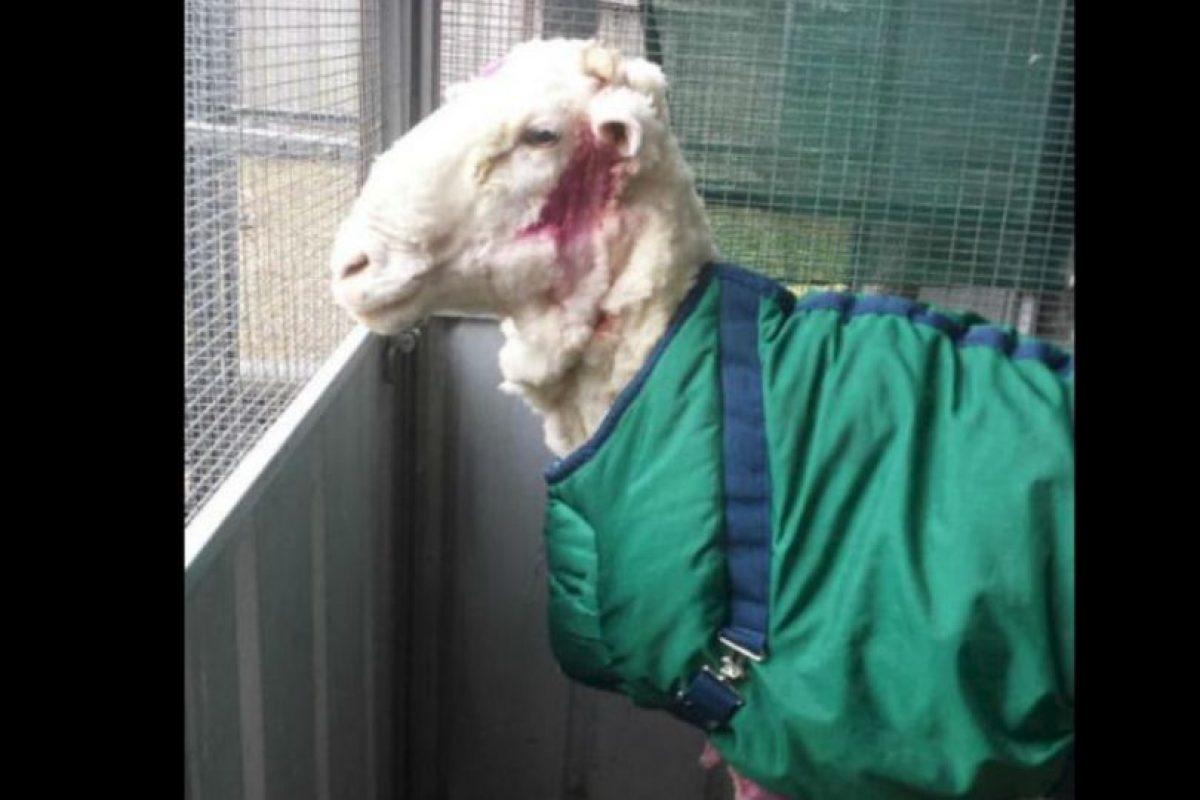 Con ayuda de Ian Elkins, el campeón nacional de esquila australiano se le retiró 42.45 kilogramos (93 libras) de lana extra a la oveja. Foto:Vía Twitter @tvendange. Imagen Por: