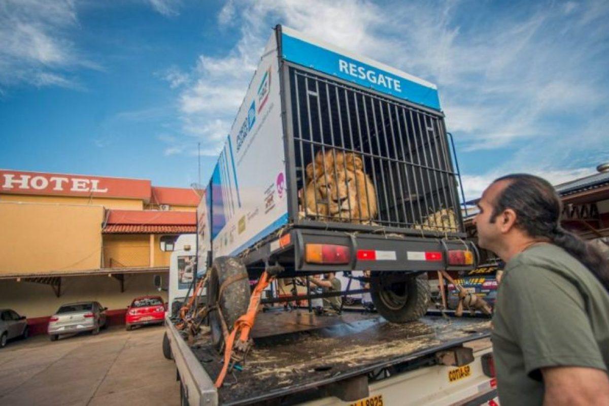 """""""Will"""" fue un león rescatado de un circo brasileño. Foto:Vía Facebook.com/RanchoDosGnomos. Imagen Por:"""