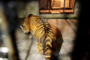El zoológico Henry Doorly de Omaha cree que el tigre relacionado es un felino de 18 años. Foto:Getty Images. Imagen Por: