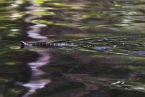 Entre las viboras más venenosas del mundo se encuentra a serpiente marina de pico, o Enhydrina schistosa. Foto:Getty Images. Imagen Por: