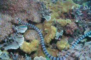 Se la encuentra en aguas del sudeste asiático y mide hasta metro y medio (5 pies con 9 pulgadas). Foto:Vía Wikipedia.org. Imagen Por: