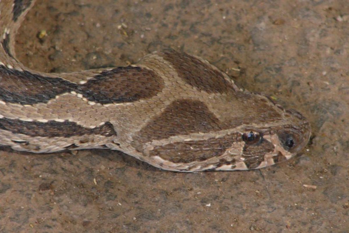 Natural de Asia, con una longitud máxima de 1,7 metros (5 pies con 5 pulgadas). Foto:Vía Wikipedia.org. Imagen Por: