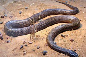 Llega a medir hasta 2,5 metros (8 pies con 2 pulgadas) de largo. Y su dosis letal igual que la serpiente anterior es de 0,03 mg/kg. Foto:Vía Wikimedia Commons. Imagen Por: