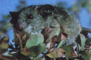 1991: Ratón de la Isla Angel (Peromyscus guardia). Imagen Por:
