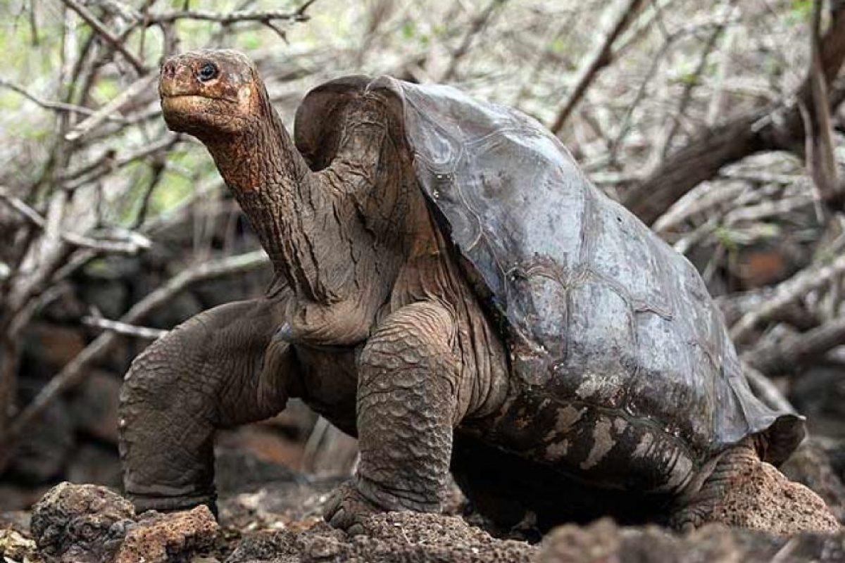 2012: Tortuga gigante de Pinta (Chelonoidis nigra abingdonii) Foto:Reproducción. Imagen Por: