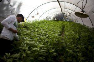 Países en los que la marihuana está más barata Foto:Getty. Imagen Por: