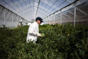 En 2009 se permitió traer consigo hasta cinco gramos de la yerba, para consumo personal Foto:Getty Images. Imagen Por: