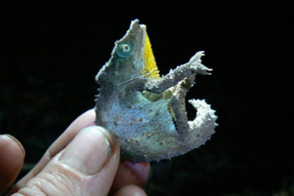 1998: camaleón Pigmeo de Chapman (Rhampholeon chapmanorum) Foto:Reproducción. Imagen Por: