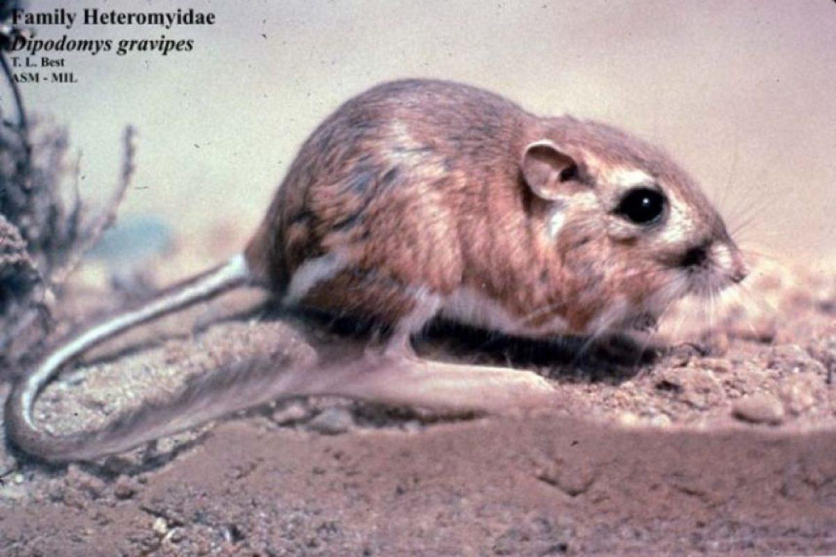 1986: Rata canguro de San Quintin (Dipodomys gravipes) Foto:Reproducción. Imagen Por: