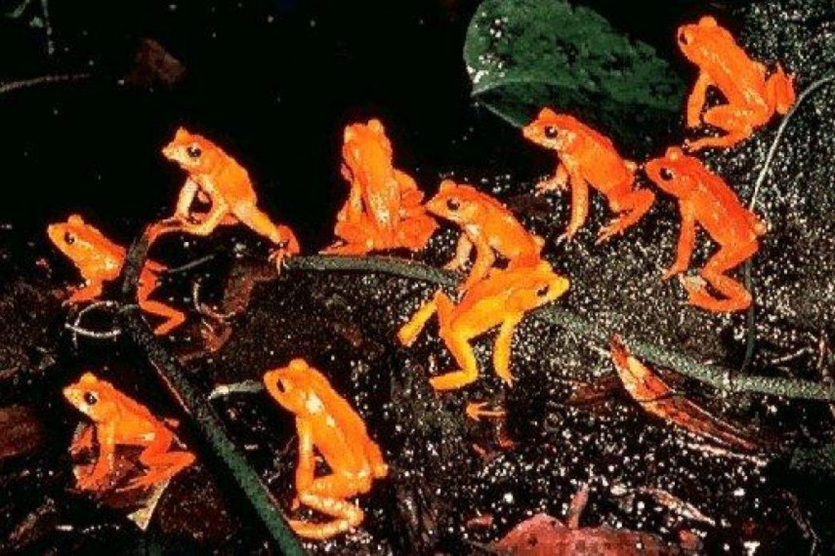 1989: Sapo Dorado (Incilius periglenes) Foto:Reproducción. Imagen Por: