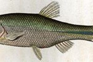 2008: Pez Pseudophoxinus syriacus Foto:Reproducción. Imagen Por: