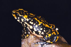 1996: Anfibio atelopus petersi Foto:Reproducción. Imagen Por: