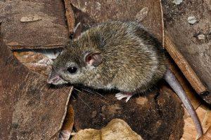2001: Rata coligorda (Zyzomys pedunculatus) Foto:Reproducción. Imagen Por: