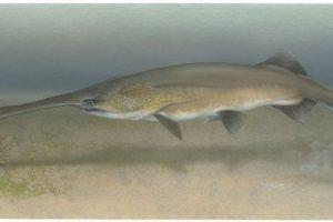 2003: Pez espátula del Yangtze (Psephurus gladius) Foto:Reproducción. Imagen Por: