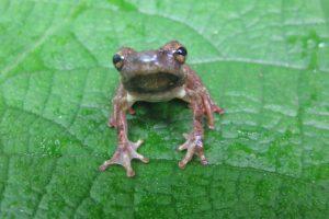 1984: Sapo Morona (Atelopus halihelos ) Foto:Reproducción. Imagen Por: