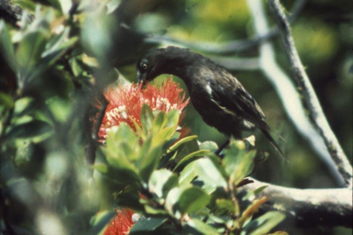 1987: Oo de Kaua'i (Moho braccatus) Foto:Reproducción. Imagen Por: